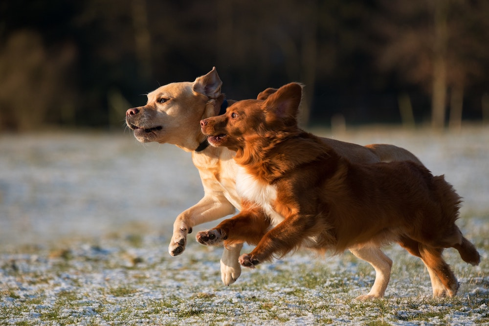 Image of two different dogs running through grass